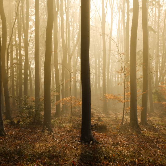 """Winter sun shines through mist and bare trees in a woodland"" stock image"