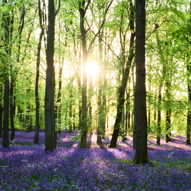 """Early sunlight streams through an English bluebell woodland"" stock image"