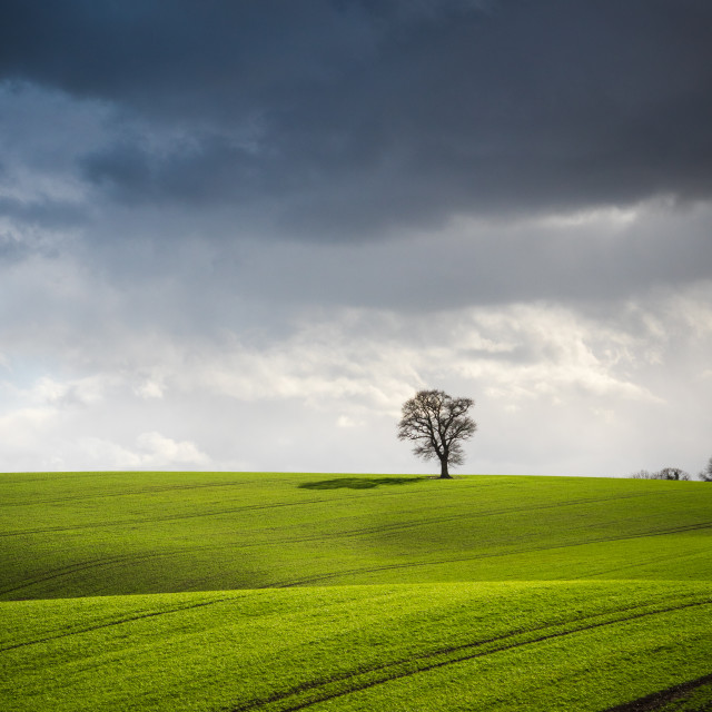 """A rain storm builds over a lone tree in a springtime field."" stock image"