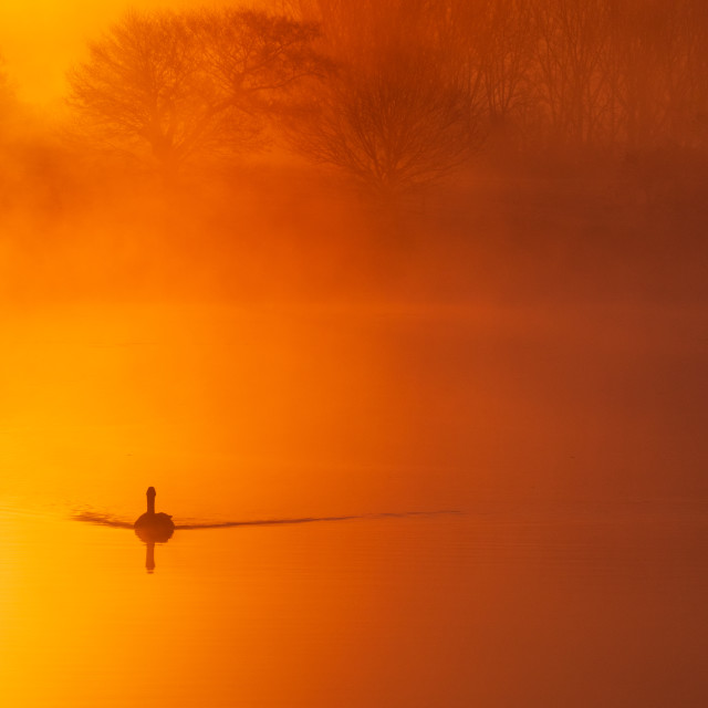 """A solitary bird silhouetted on a lake turned burnt orange by a misty sunrise."" stock image"