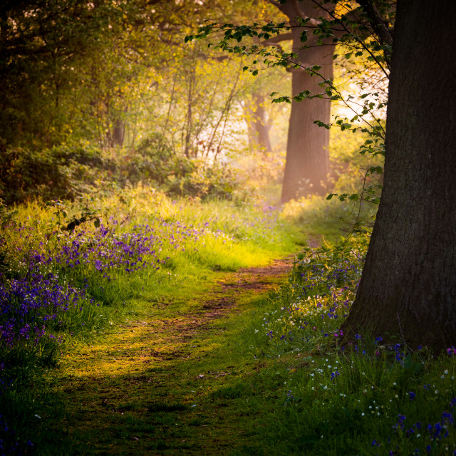 """Woodland path in early morning"" stock image"