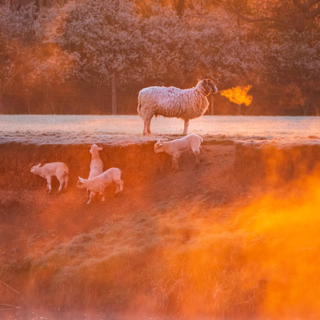 """Lambs play on a misty riverbank watched over by mother"" stock image"