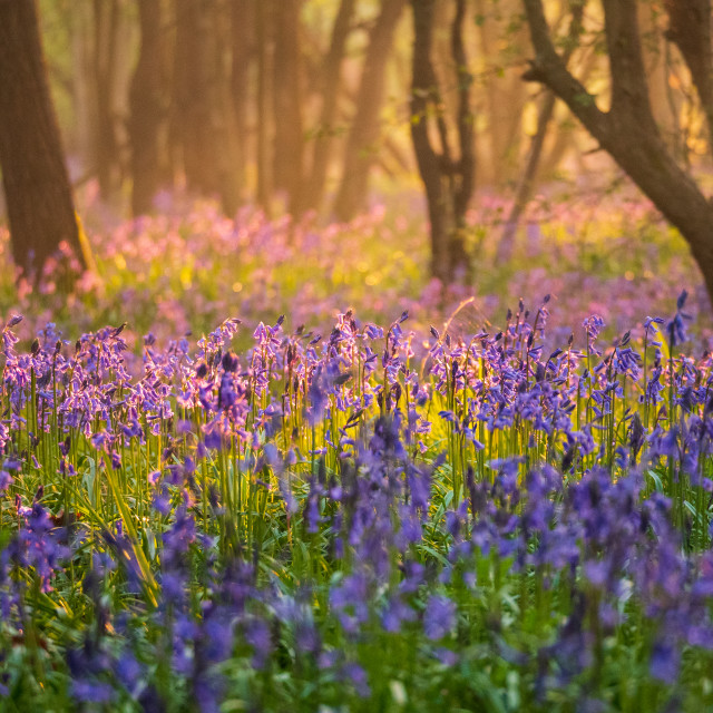 """Early sun shines through woodland onto a carpet of bluebells"" stock image"