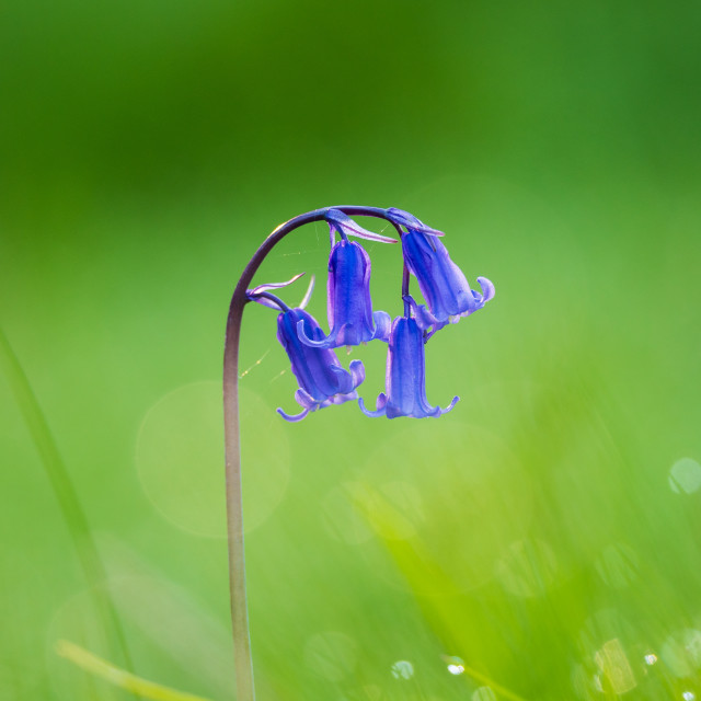 """A solitary bluebell against a green background"" stock image"