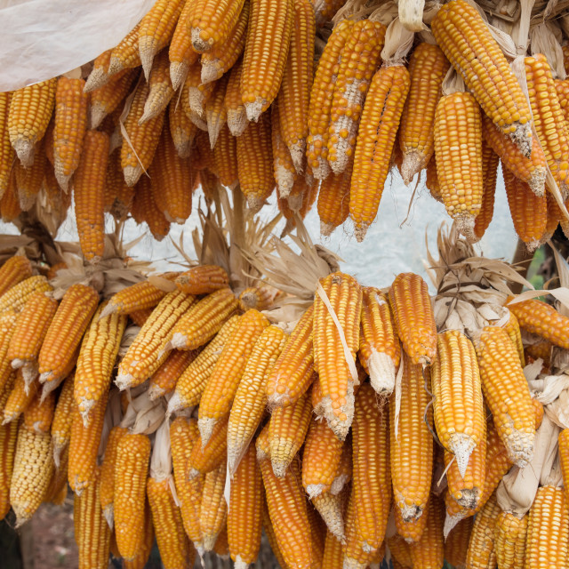 """""""Organic sweet corn for sale in local market"""" stock image"""