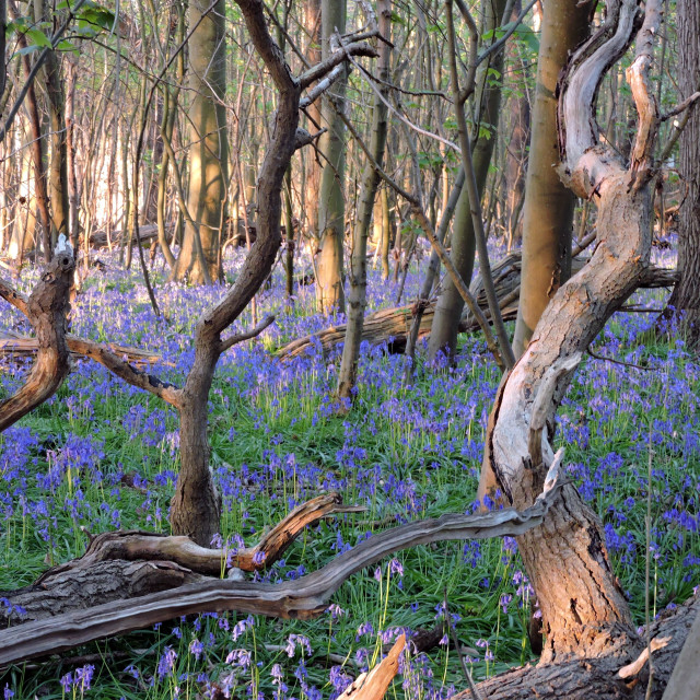 """Light at the end of the Bluebell Wood"" stock image"