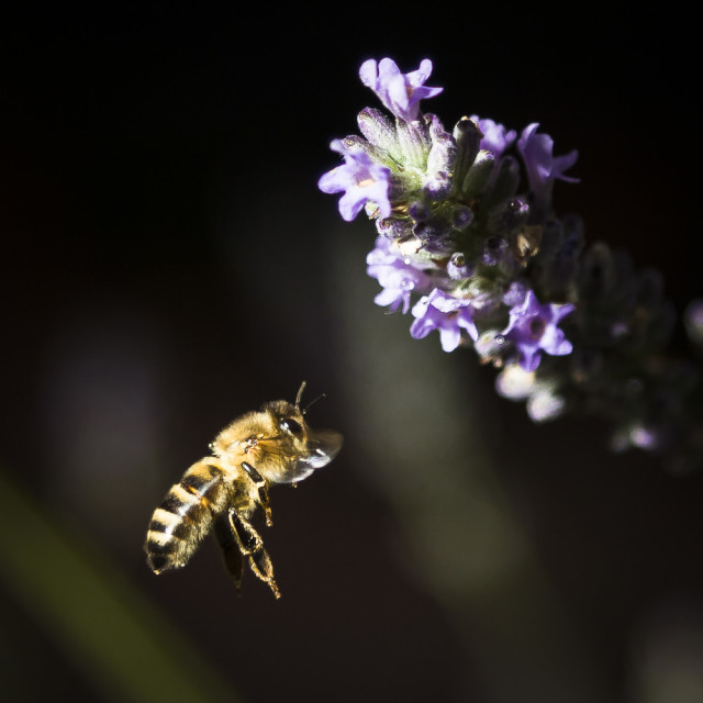 """A Bee feeding on Lavender"" stock image"