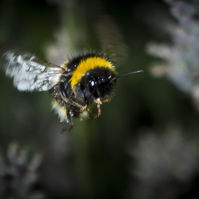 """A Bee mid-flight"" stock image"