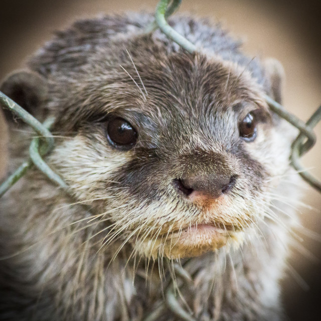 """Caged Otter"" stock image"