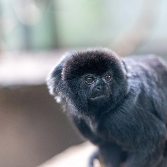 """""""Goeldi's monkey"""" stock image"""