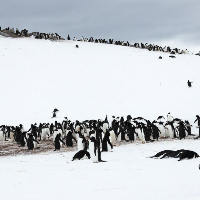 """0506 - Gentoo Penguins on Cuverville Island, Antarctica"" stock image"