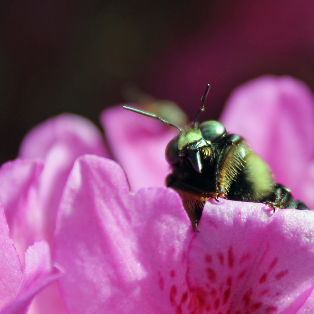 """bee on azalia"" stock image"