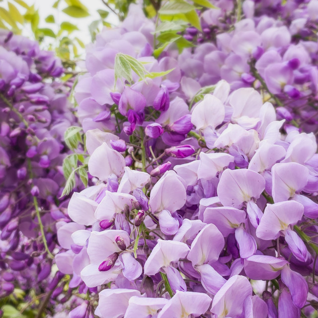 """Beautiful Wisteria"" stock image"