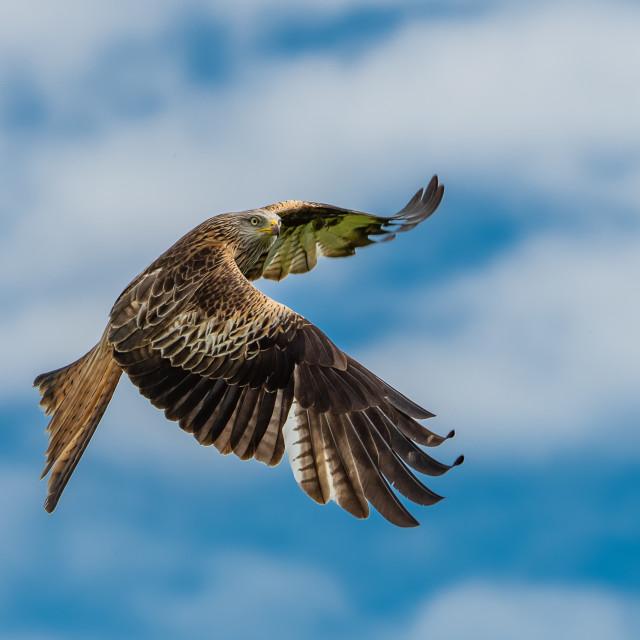 """Hunting Red Kite"" stock image"