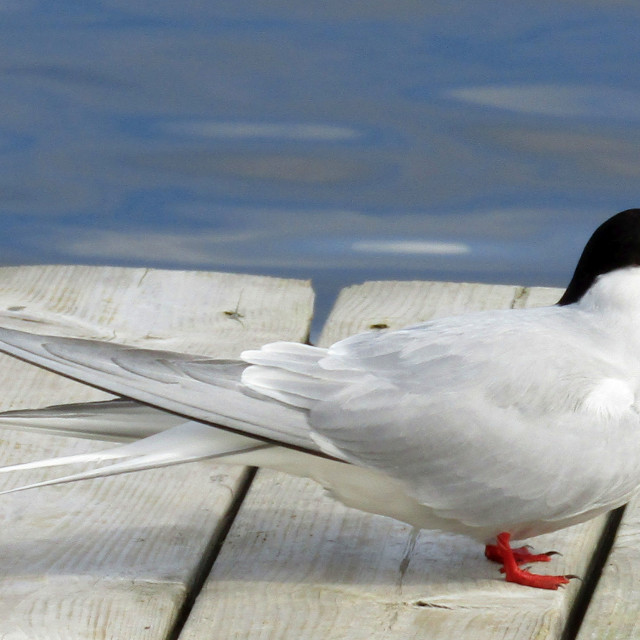 """Black headed gull in Umea, Sweden"" stock image"