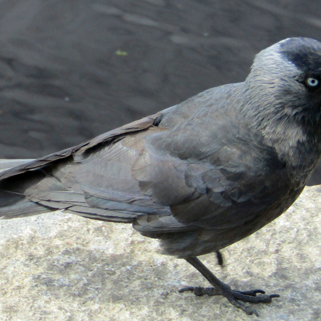 """Jackdaw in Umea, sweden"" stock image"