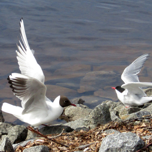 """Black headed gulls in Umea, Sweden"" stock image"