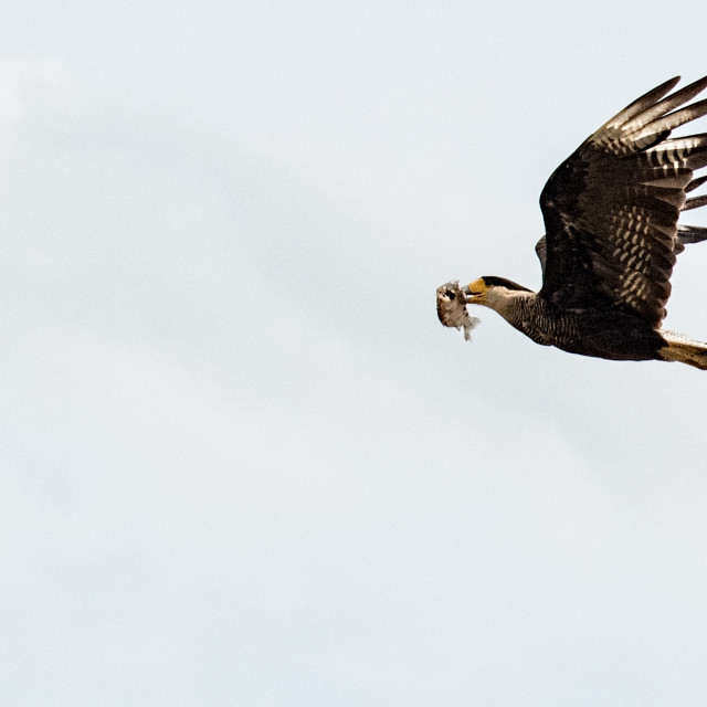 """Great Black Hawk"" stock image"