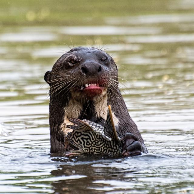 """""""Giant Otter eating"""" stock image"""