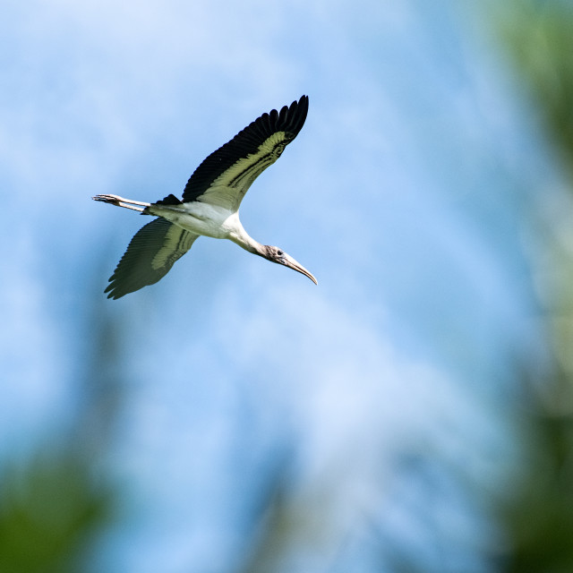 """Wood Stork"" stock image"