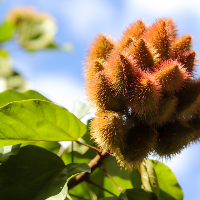 """The fruit of the Brazilian annatto"" stock image"