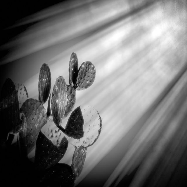 """Light Rays on Cactus"" stock image"