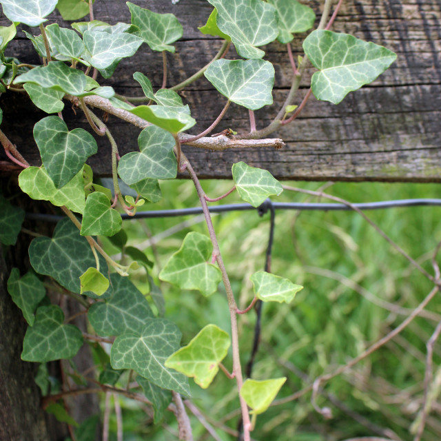"""ivy growing on fence"" stock image"