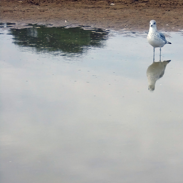 """seagull reflection"" stock image"