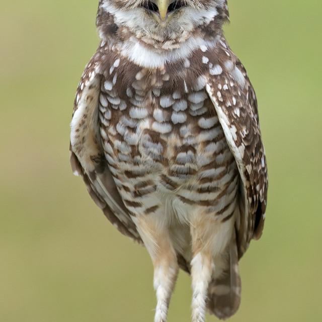 """""""Burrowing Owl"""" stock image"""