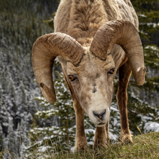 """""""Stares of a Big Horn Sheep"""" stock image"""