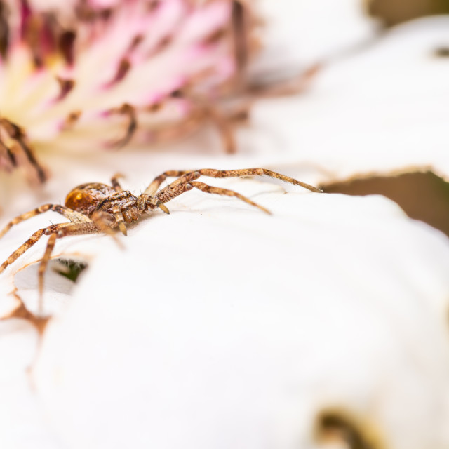 """Light brown spider perched on the white bloom waiting for fly"" stock image"