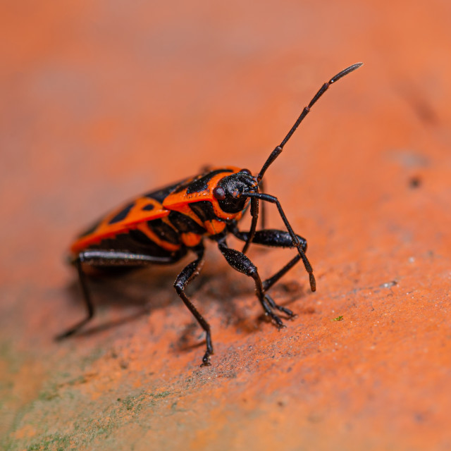 """Detail of red bug perched on the piece of red brick"" stock image"