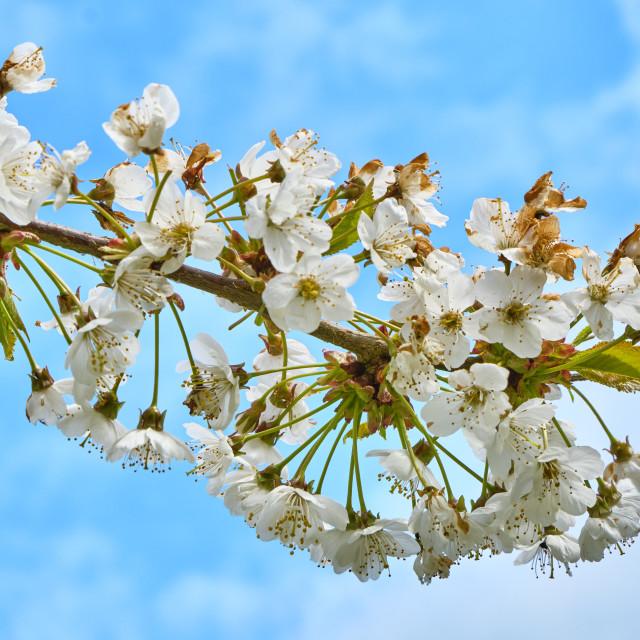 """Wild cherry against a blue sky"" stock image"