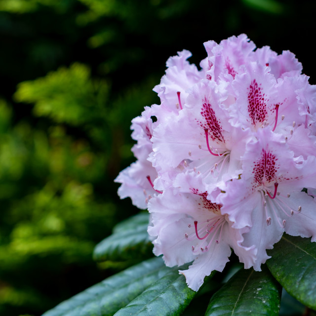 """""""Rhodedendron"""" stock image"""