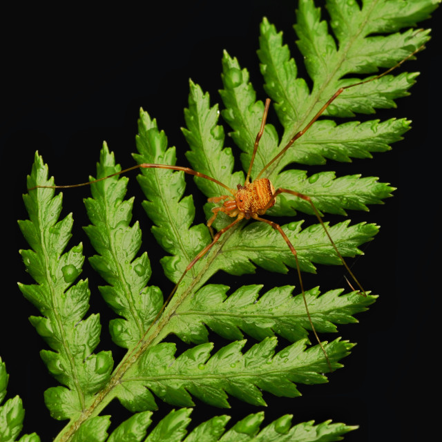 """Harvestman On Fern"" stock image"