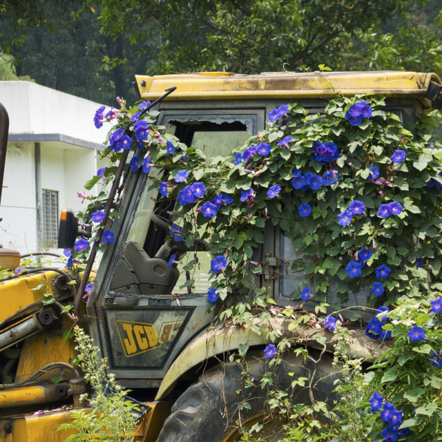 """""""Backhoe Covered in Morning Glories"""" stock image"""