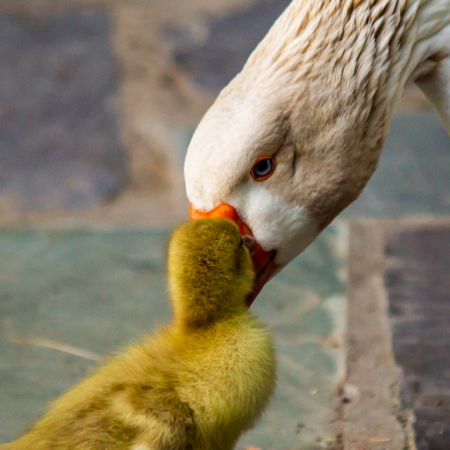 """""""Mother and Gosling Snow Goose"""" stock image"""