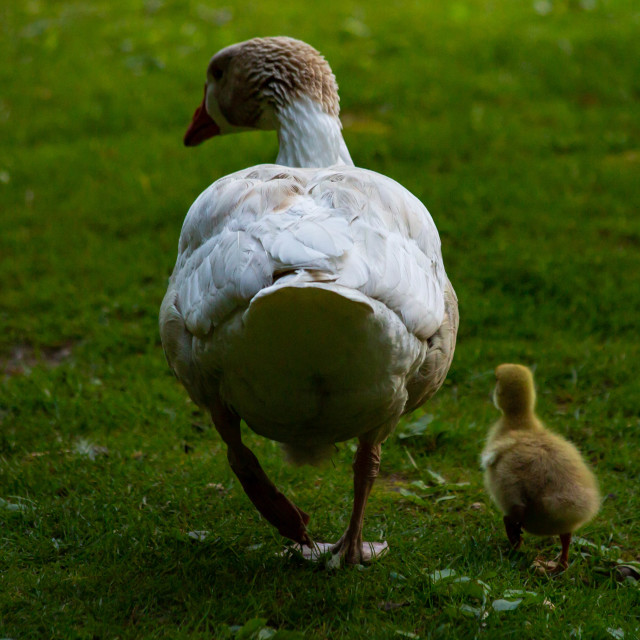 """""""Adult Snow Goose Leadings its Gosling"""" stock image"""