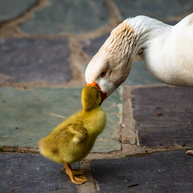 """""""Mother Snow Goose Gazing at Her Offspring"""" stock image"""