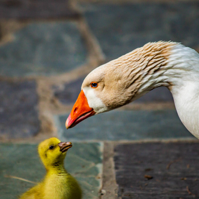 """Mother Snow Goose and Her Gosling"" stock image"