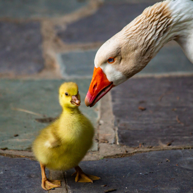 """Snow Goose Cuteness"" stock image"