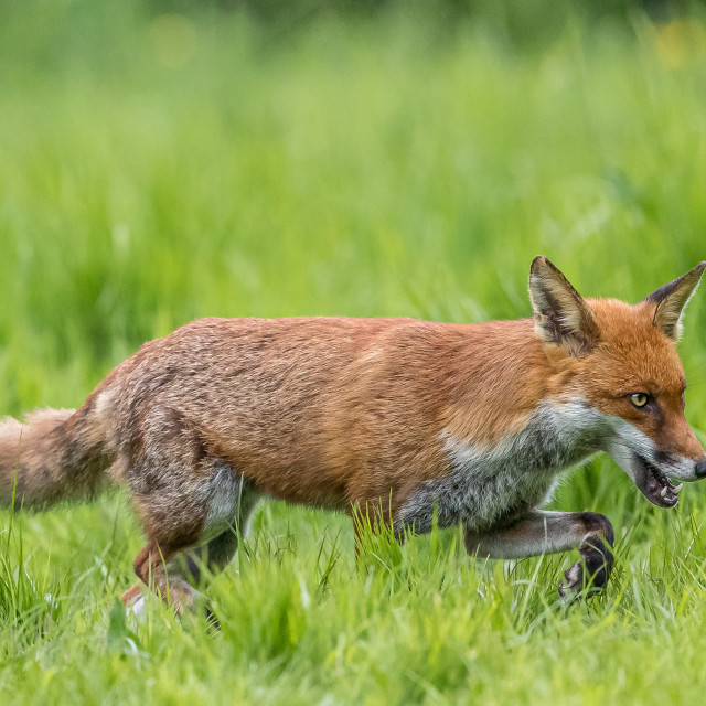 """""""Fox hunting in the English countryside"""" stock image"""