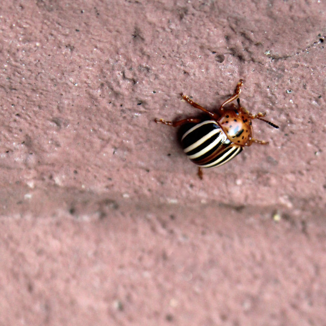 """""""stripped beetle"""" stock image"""