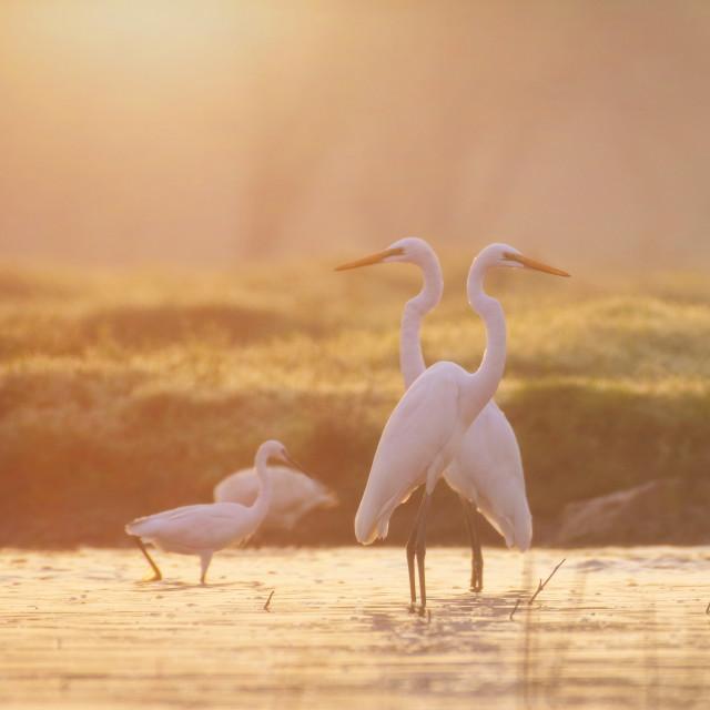 """""""Great Egrets fishing at sunrise"""" stock image"""