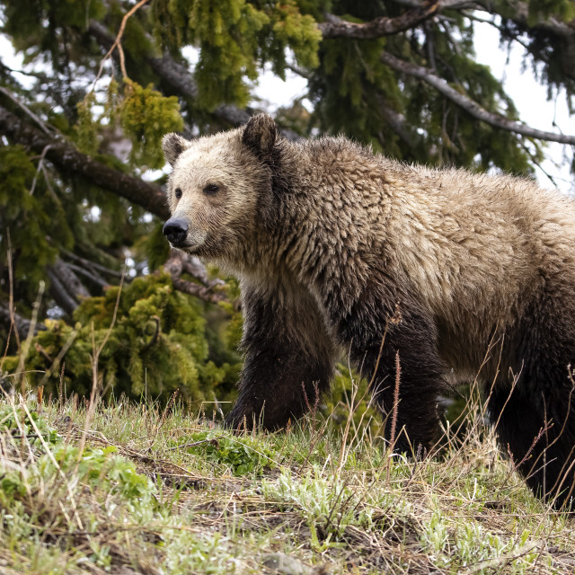 """""""Grizzly Stroll"""" stock image"""