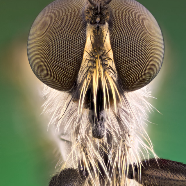 """""""robberfly portrait frontal"""" stock image"""