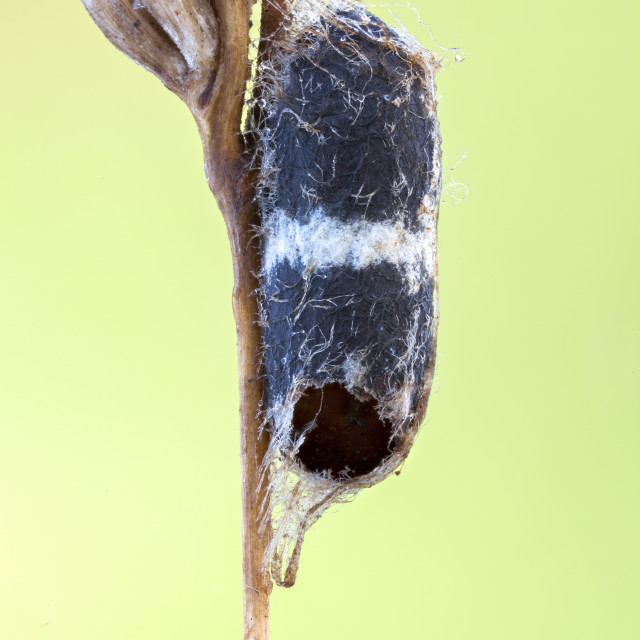 """Parasitoid wasp pupa"" stock image"