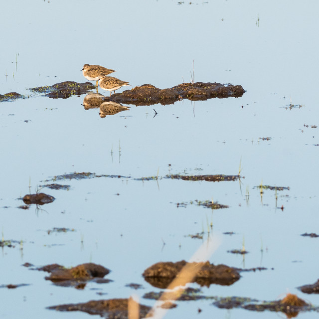 """""""Two wader birds in a wetland"""" stock image"""