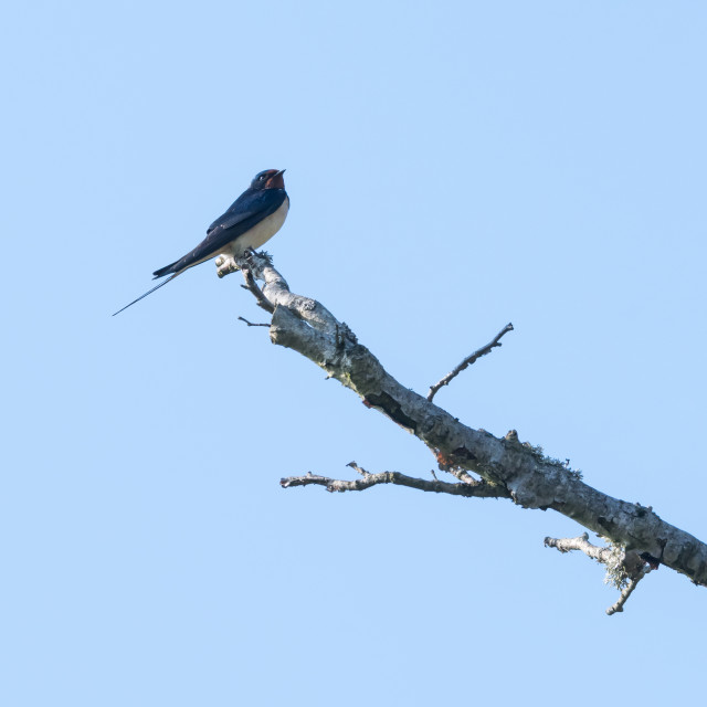 """""""Barn Swallow sitting on a branch by a blue sky"""" stock image"""