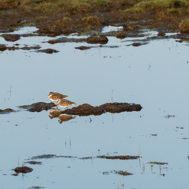 """""""Two wader birds resting in natural habitat in a wetland"""" stock image"""